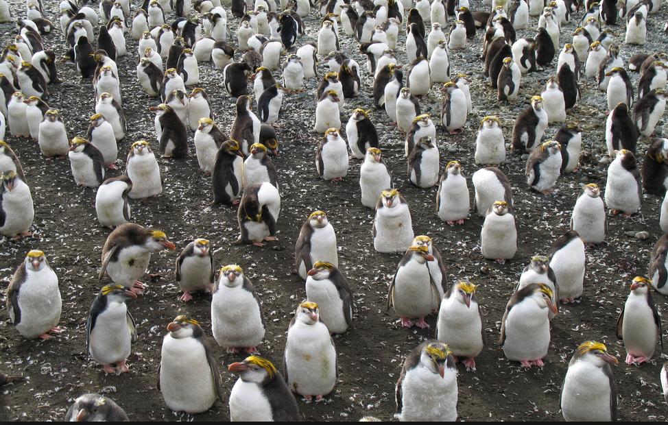 penguin flock